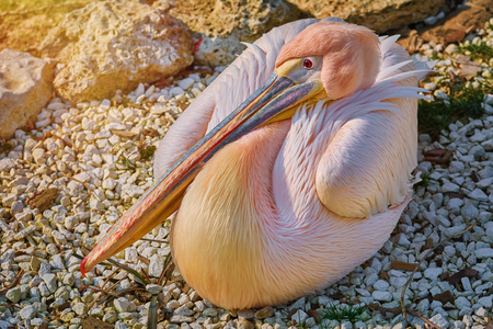 Great White Pelican (Pelecanus Onocrotalus) Resting on the Ground Stock Photo