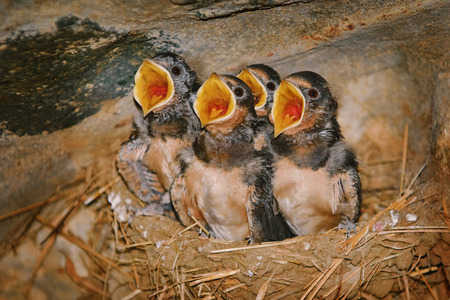 Swallow Birdlings Sitting in a Nest with Open Beaks
