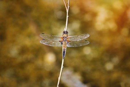 The Four-spotted Chaser (Libellula Quadrimaculata) at a Pond Фото со стока