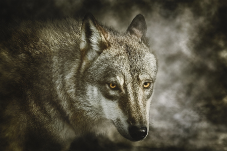 Portrait of Grey Wolf (Canis Lupus) Stock Photo