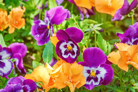 Flower Bed with Pansies of Different Colors