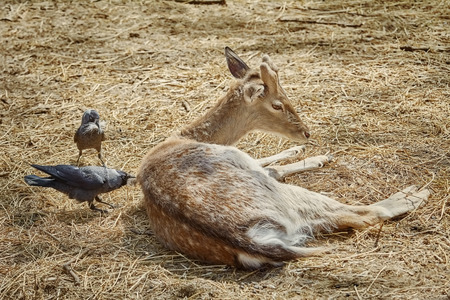 Crow Collects Wool for a Nest from the Dorsum of a Deer