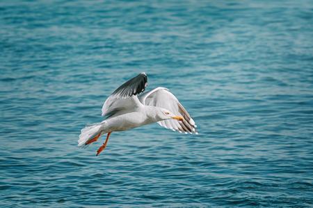 European Herring Gull (Larus argentatus) over Black Sea Stock Photo - 115709517