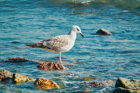 Subadult European Herring Gulls (Larus argentatus) on the Black Sea Shore 版權商用圖片