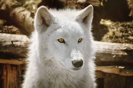 Alaskan Tundra Wolf (Canis Lupus Tundrarum), also Known as the Barren-ground Wolf