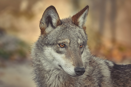 Portrait of grey wolf (Canis lupus)
