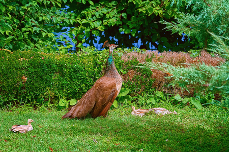 Peahen with Nestlings Walking in the Garden