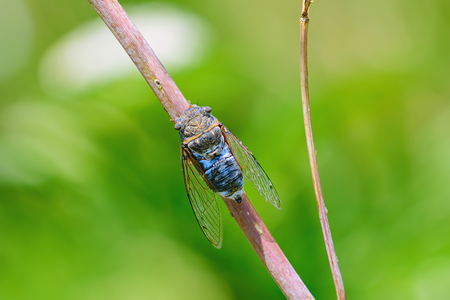 Cicada (order Hemiptera) sitting on the twig