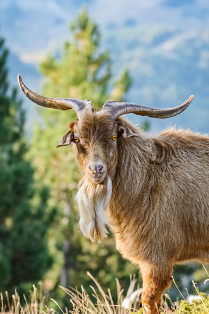 Portrait of Domestic Goat with Horns (Capra Aegagrus Hircus) Reklamní fotografie