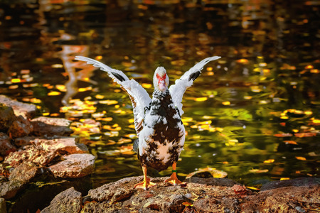 Muscovy Duck Dries its Wings on the Bank of the Pond