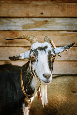 Portrait of the billy goat with horns
