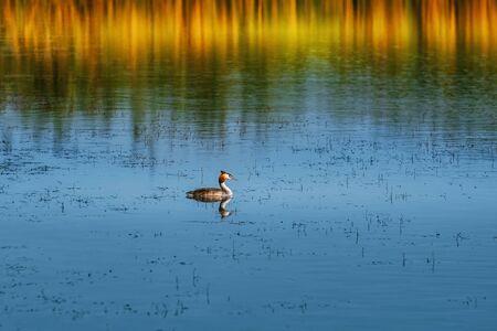 Great Crested Grebe (Podiceps cristatus) on the Pond Stok Fotoğraf