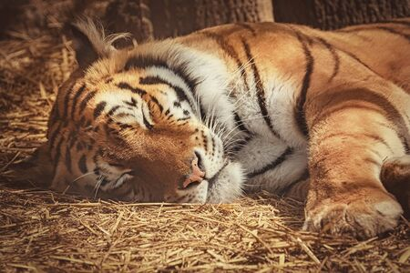 Portrait of Sleeping Tiger on the Hay