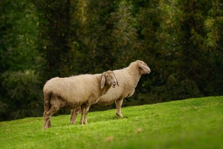 Two Sheeps on the Slope of a Hill Archivio Fotografico