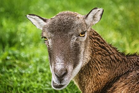 Potrtrait of a Sheep against Green Background