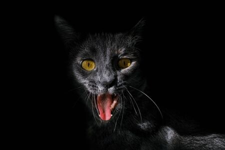 Portrait of an angry cat on a black background 版權商用圖片