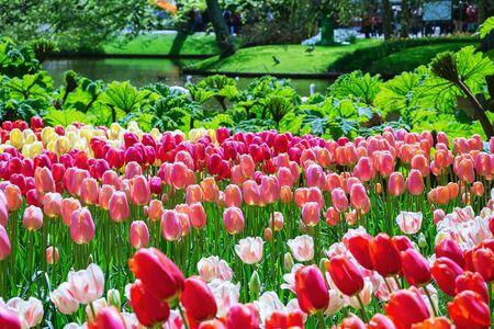 Flower Bed of Different Kinds of Color Tulips Banco de Imagens