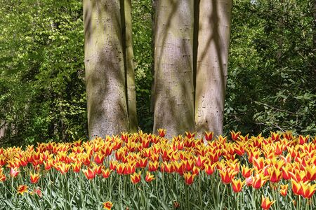 Red and Yellow Tulips Flower Bed in the Park Banco de Imagens