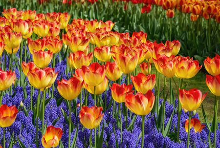 Red and Yellow Tulips among the Blue Flowers Banco de Imagens