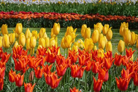 Flower Bed of Red and Yellow Tulips