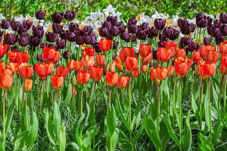 Different Kinds of Tulips Flowers