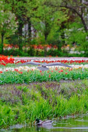Heron in front of the tulip field