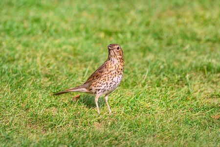 Song thrush on the grass looking for a food