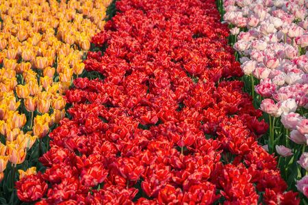 Flowerbed of tulips in the garden. Springtime in Netherlands