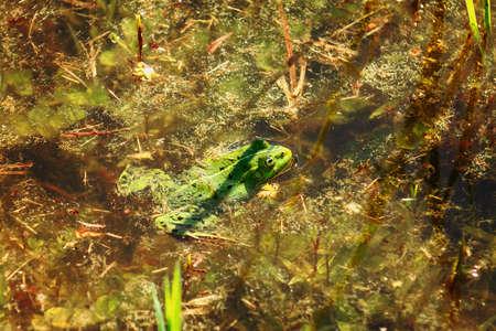 Green frog in the water Foto de archivo