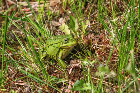 Green frog in the grass near the pond Stock Photo