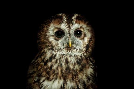 Portrait of Tawny owl or brown owl (Strix aluco)