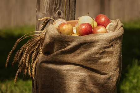 Burlap sackof ripe apples in the courtyard 版權商用圖片