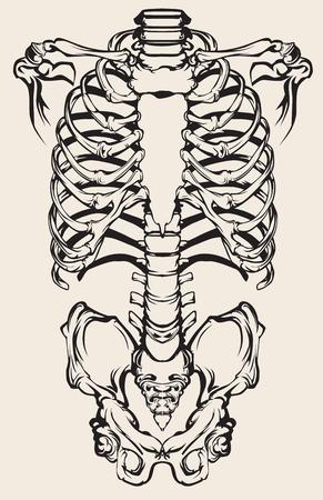 Detailed anatomical illustration of the human skeleton