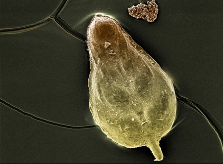 plankton: la c�scara de un organismo antiguo bajo el microscopio de electrones