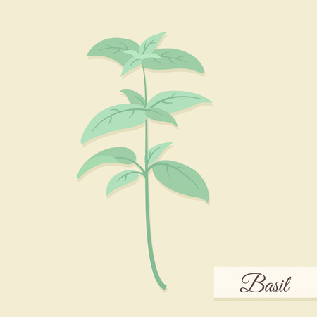 cilantro: Basil bunch illustration