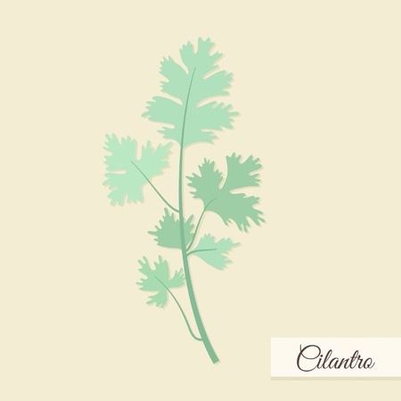 cilantro: Herbs for cooking. Cilantro bunch vector illustration Illustration