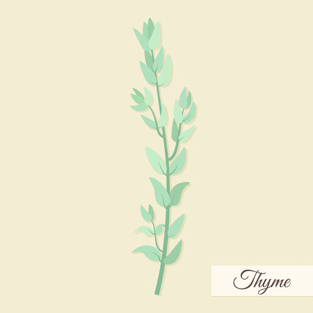 thyme: Herbs for cooking. Thyme bunch vector illustration