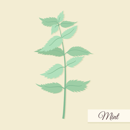 Herbs for cooking. Mint bunch vector illustration Vector
