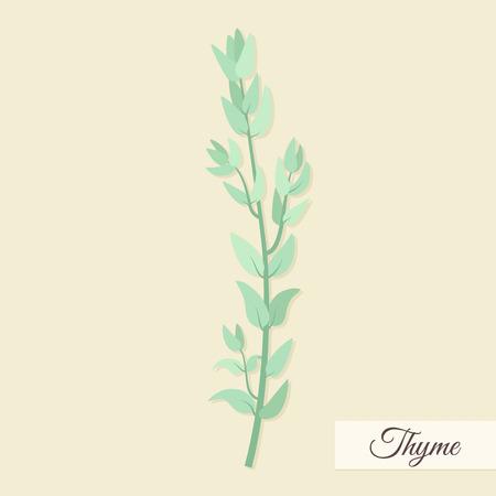 koriander: Gyógynövények a főzéshez. Kakukkfű csomó vektoros illusztráció
