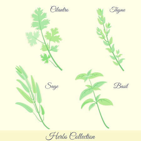 cilantro: Kitchen herbs collection. Cilantro, thyme, sage, basil.