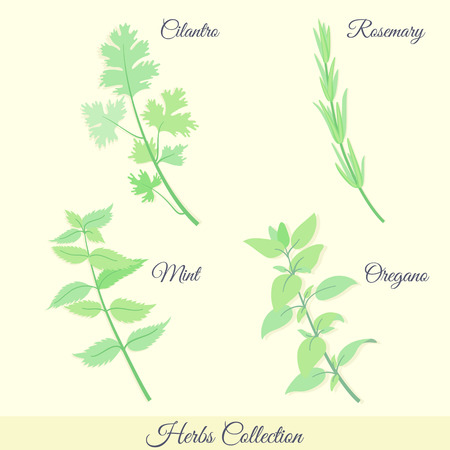 cilantro: Kitchen herbs collection. Cilantro, rosemary, mint, oregano.