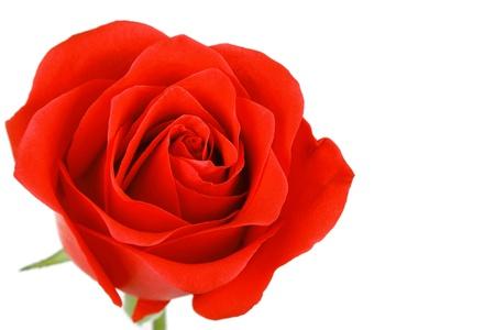 Enkele rode roos bloem op een witte achtergrond Stockfoto