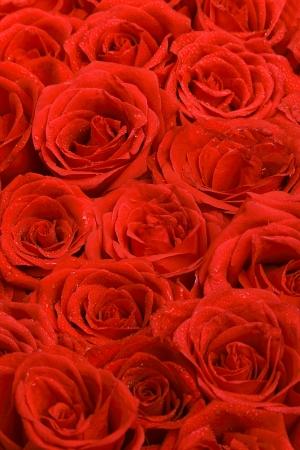 Rode rozen natuurlijke achtergrond Stockfoto