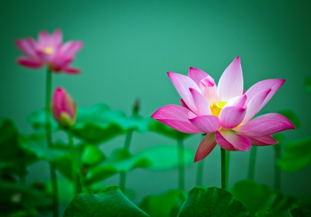 Lotus and lotus ponds. The lotus pond. photo