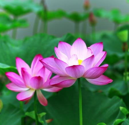 Lotus and lotus ponds. The lotus pond.