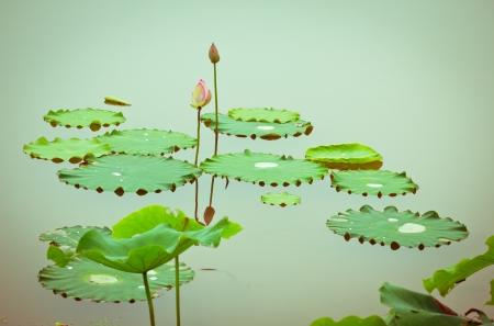 Lotus en lotus vijvers. De lotus vijver.