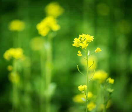 cole: cole flower