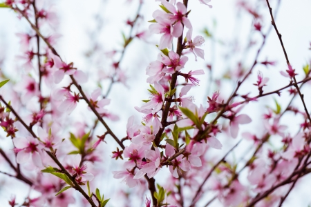 Oriental White-eye with Sakura pink flower photo