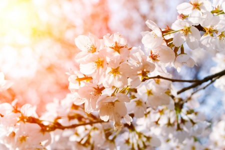 Beautiful Cherry Tree in Blossom on Blue Sky Background