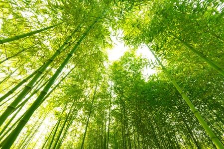 Bamboebos,